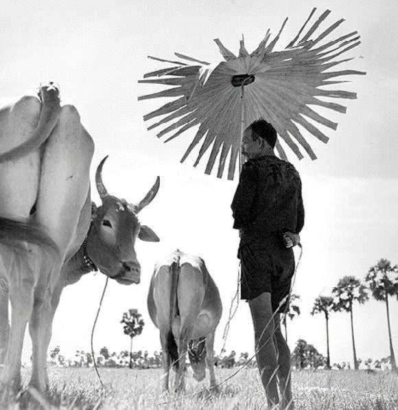 Farmer, Cambodia, 1953.