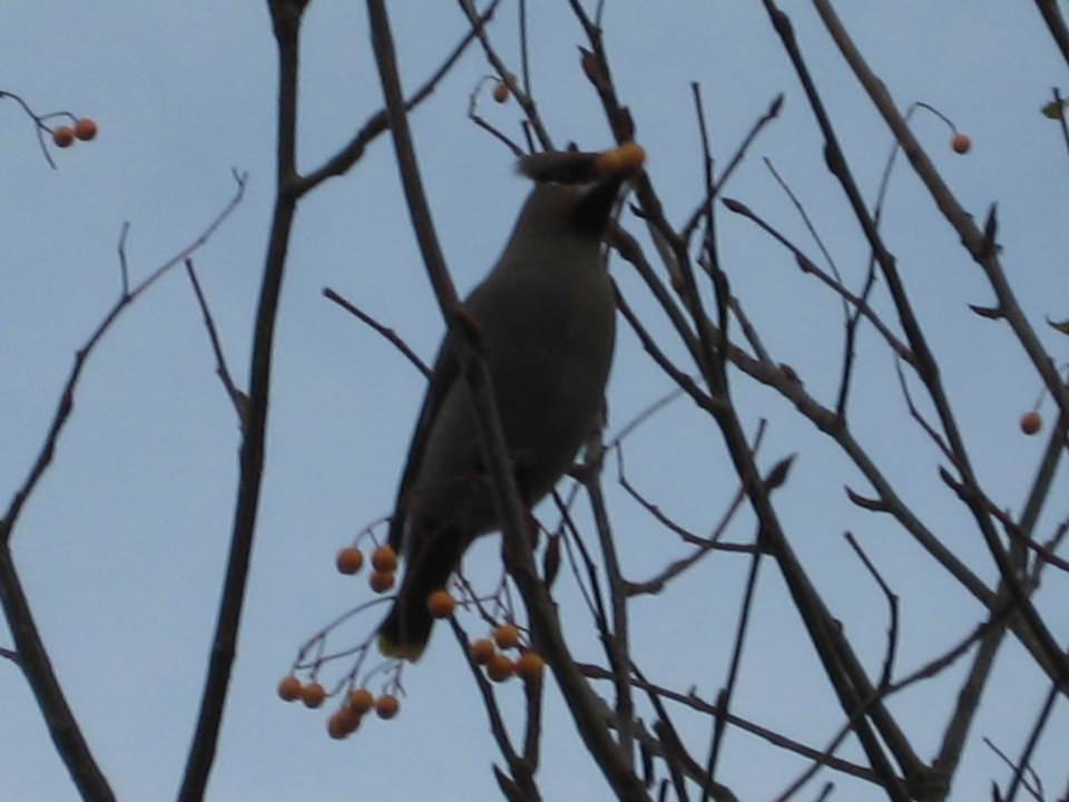 Dad's pictures of Waxwings